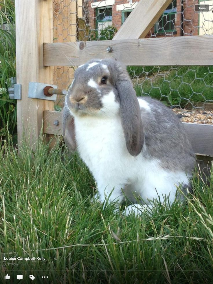Magnificent Sebastian the French Lop