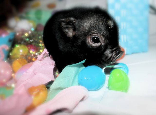 Micro Kune Piggie want so bad