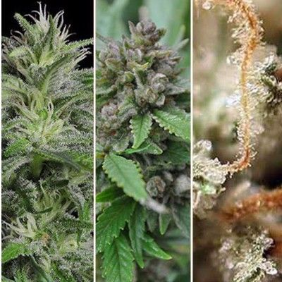 795 best Cannabis Seeds images on Pinterest | Cannabis, Seeds and ...