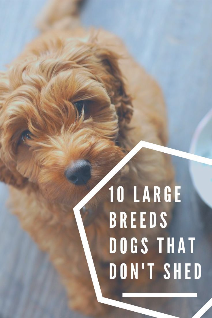 10 Large Breed Dogs That Don T Shed And 5 That Shed Less Than Normal Large Dog Breeds Dog Breeds That Dont Shed Dog Breeds