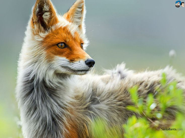 Foxes Wallpaper 7 Fox images, Animals, Animals images