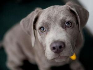 Wise eyes: Pretty Eye, Adoptable Puppy, Adoption Puppies, Adorable Puppies, Weimaraner Puppies, Baby, Mixed Dogs, Weimaraner Dogs, Animal