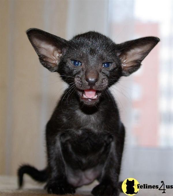 Oriental Kittens for Sale Oriental shorthair, Oriental