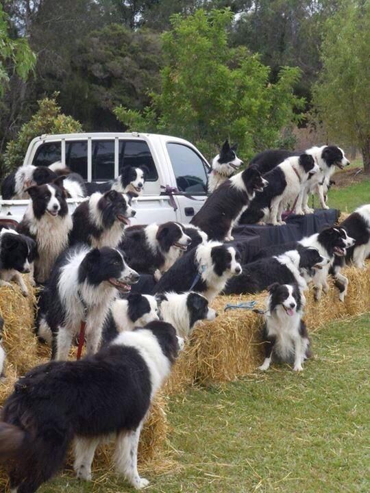 Border Collies Staying Focussed  on the Target.
