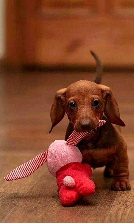 Baby Dachshund. Oh my goodness, do all Dachshund carry their toys around? LOL