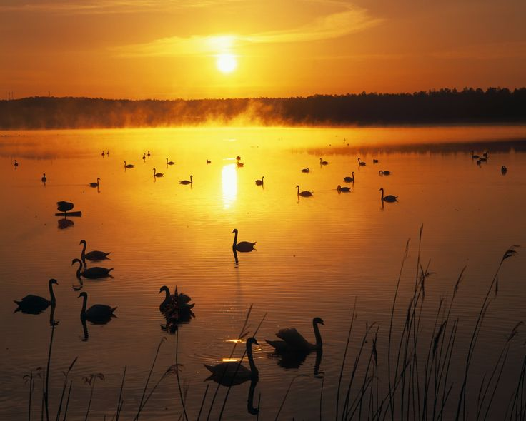 To Finland! Travel blog with fabulous photos: Swans at sunset Finland