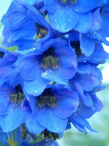 BEAUTIFUL FLOWERS: Delphinium Flowers - Pictures & Meanings