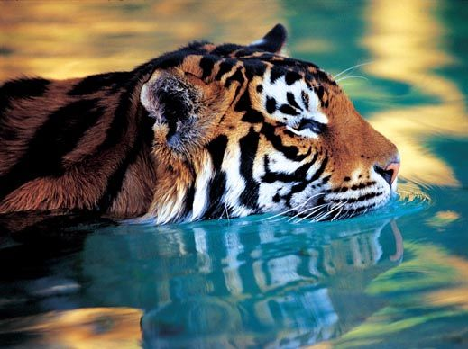 Tiger Island, Dreamworld