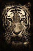 Tiger, Africa, Purry, Zoo, Predator