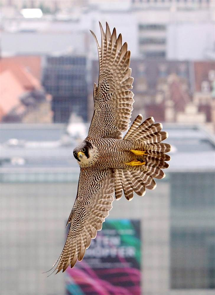 Wide wings  A peregrine falcon flies over Leipzig, Germany, on May 16.