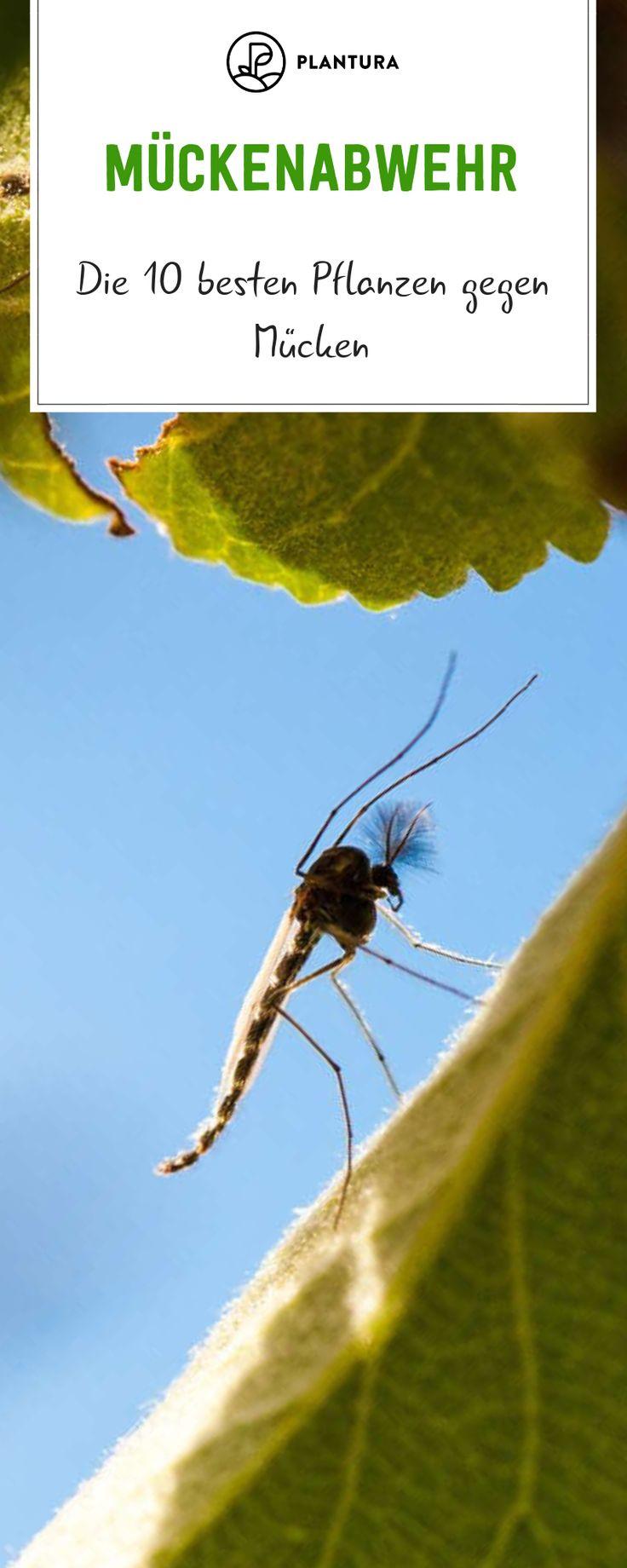 Pflanzen gegen Mücken: Die 10 besten Pflanzen zur Mückenabwehr