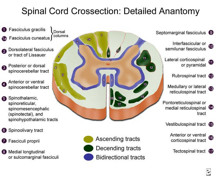 Topographic and Functional Anatomy of the Spinal Cord