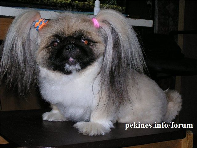 her name is alisa pekingese haircut for summer photo