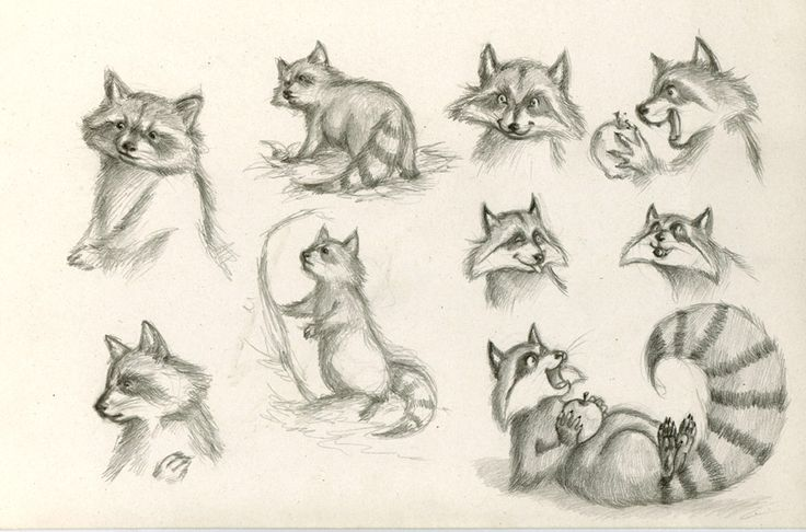 Raccoon Study by WinterImp on DeviantArt