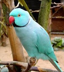 Imagini pentru papagali agapornis