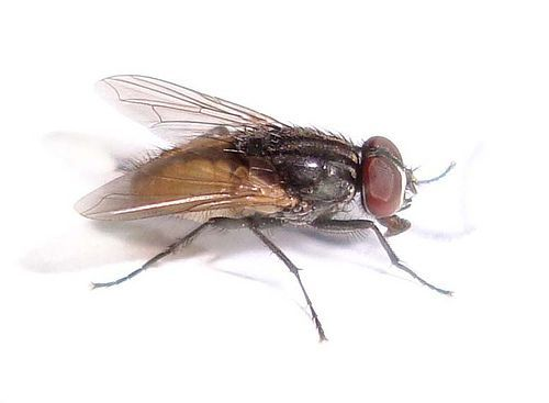 get rid of house flies with cloves pest control at home rh pinterest com