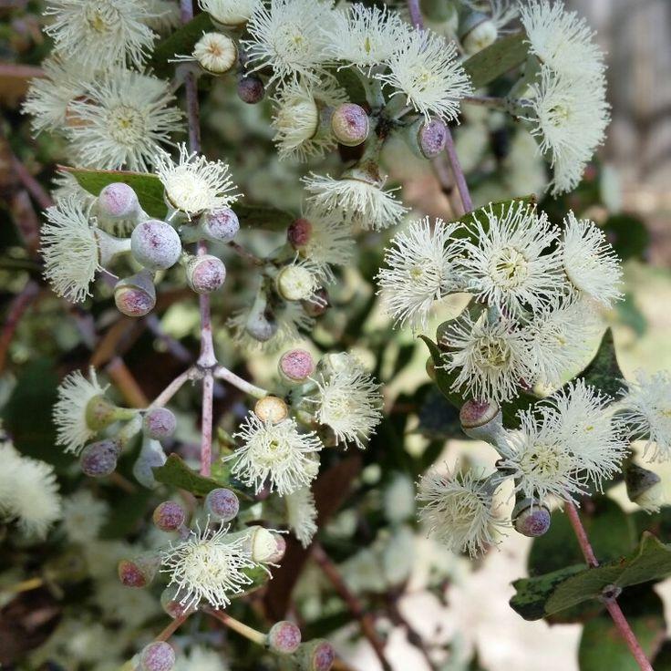 506 best gum trees 1 images on pinterest