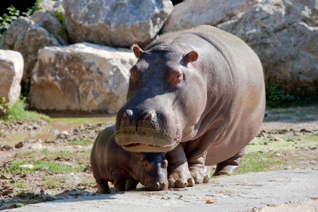 Selvaggi si nasce, le foto dal set: un ippopotamo con il suo cucciolo