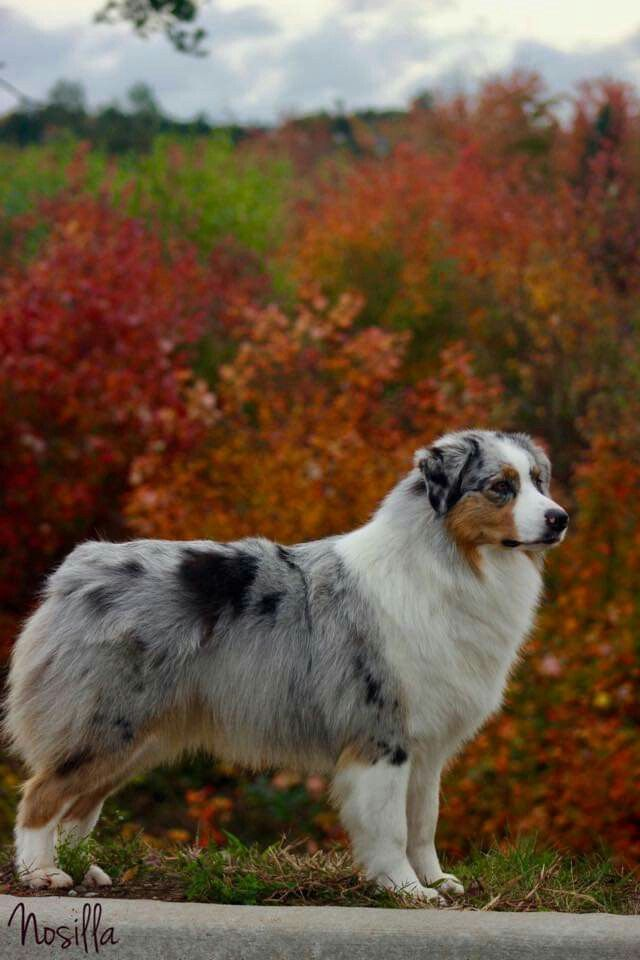 Aussiekullens Aussisar Mira 6 Month Old Blue Merle Australian Shepherd Aussie Dogs Dog Lovers