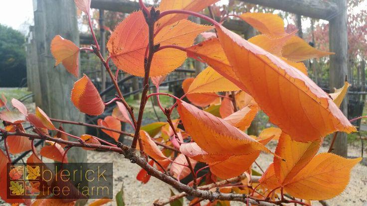 Prunus shirotae 'Mt Fuji' – Flowering Cherry – Purchase Bare Rooted Trees Online