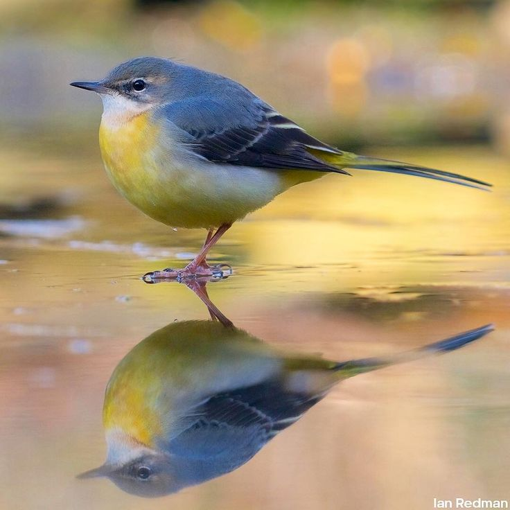 Glorious grey wagtail on a frozen pond 👌#Winterwatch starts Monday!