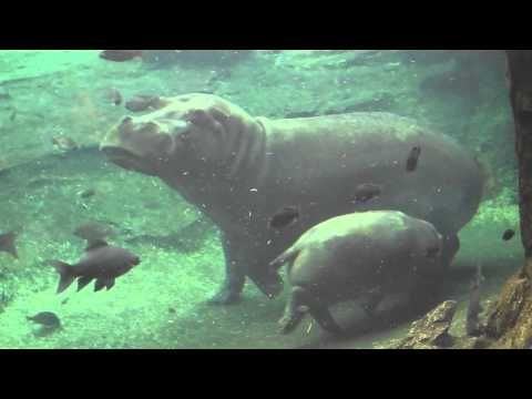 CUTE - Mama Hippo and Baby Hippo Swimming Together