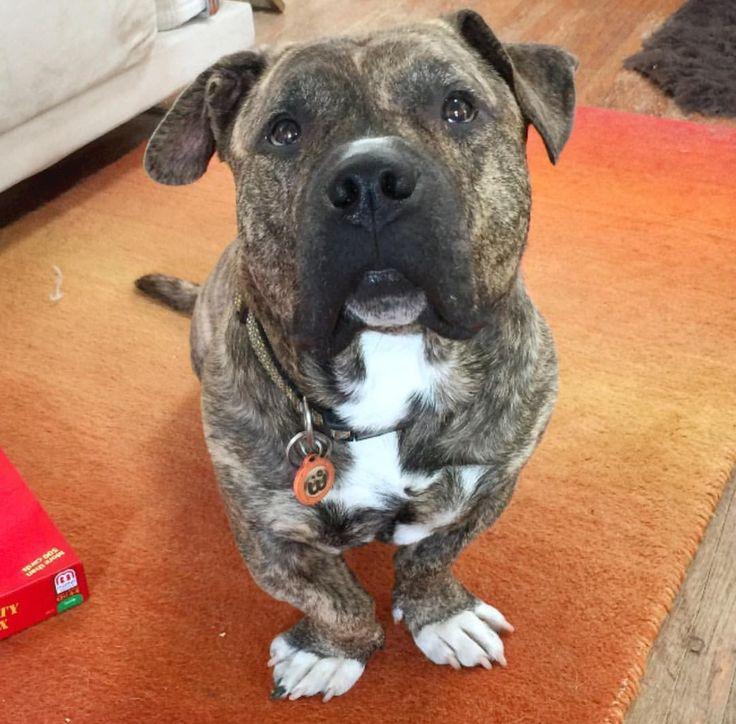 Basset hound pitbull mix.