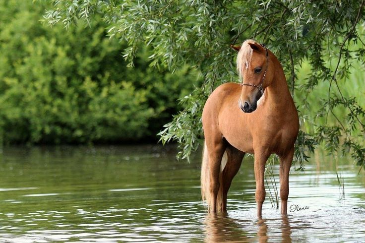 FB: SSF A Gift of Joy to Remember  American Miniature Horse filly lake equine photography water mare caballo pferd AMH amha
