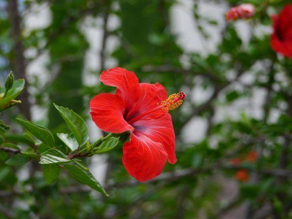 Der Hibiskus im klassischen Rot