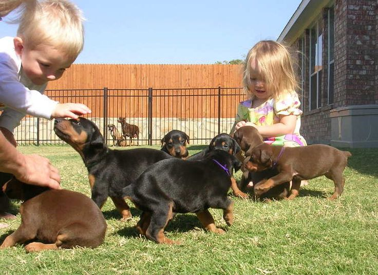 Gorgeous KC registered Doberman puppies | Colorado