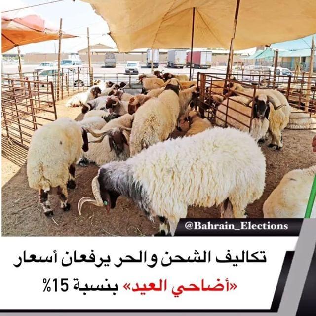 البحرين تكاليف الشحن والحر يرفعان أسعار أضاحي العيد بنسبة 15 أكد تجار مواش أن تأخر وصول شحنة المواشي للمملكة وتوقف صادرات السودان من الموا Animals Bahrain