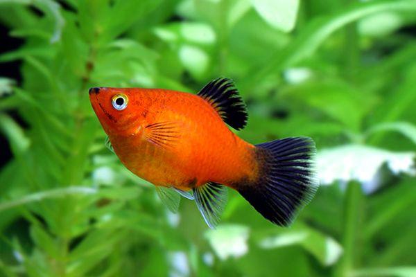 17 Most Popular Freshwater Fish 1 In 2020 Freshwater Fish Tropical Freshwater Fish Platy Fish