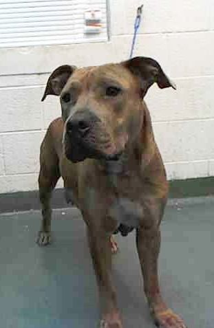 SAFE --- LISA (A1669957) I am a female brown tiger Terrier.  The shelter staff think I am about 1 year and 1 month old.  I was found as a stray and I may be available for adoption on 01/07/2015. — hier: Miami Dade County Animal Services. https://www.facebook.com/urgentdogsofmiami/photos/pb.191859757515102.-2207520000.1420161007./901153059919098/?type=3&theater