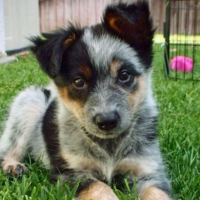 Queensland Blue Heeler Australian Cattle-Dog Puppy Dogs ...