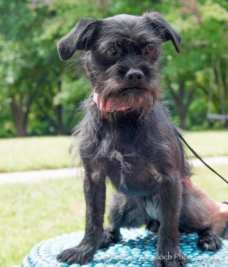 Adopt josie on petfinder brussels griffon pug mix pet