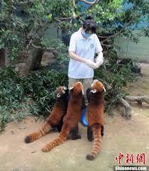 Bildresultat för röda pandor