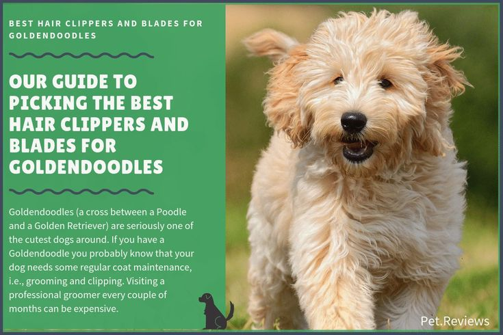 Goldendoodles a cross between a poodle and a golden