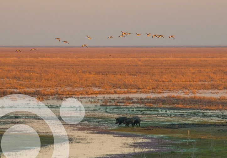 #Birding_in_Spain : Greylag geese over a group of wild boars. More information to plan your trip to #Doñana in www.qnatur.com