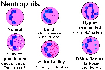 Neutrophils and their common inclusions