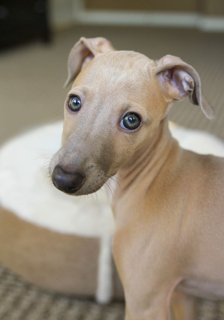 Best 25+ Italian greyhound puppies ideas on Pinterest ...