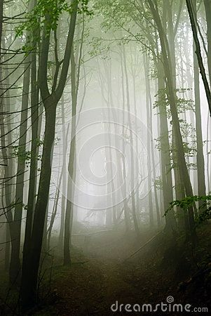 Deep mist in a tall trees forest with a moody atmosphere. A dark path leads through this Transylvanian foggy woodland.
