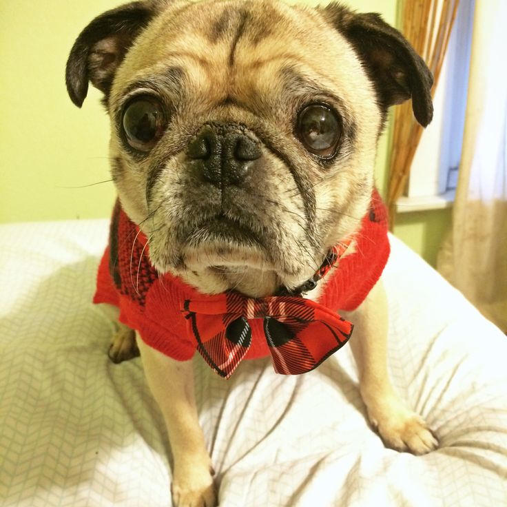 Pug on National Dress Up Your Pet Day