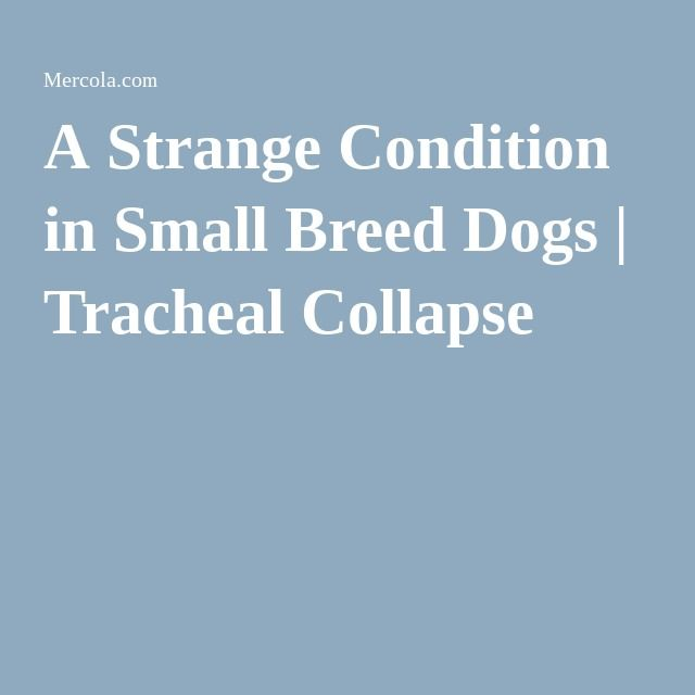 A Strange Condition in Small Breed Dogs | Tracheal Collapse