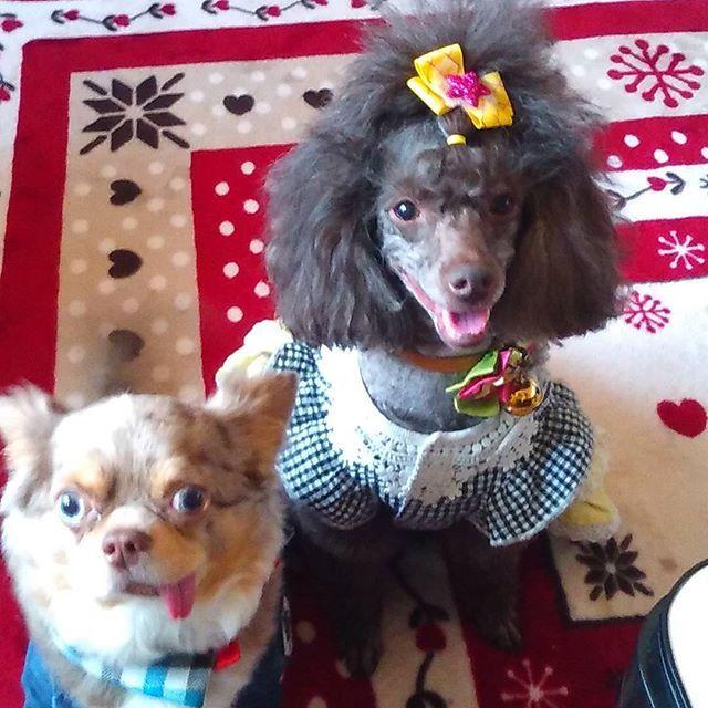 #トイプードル#トイプー#チワワ#愛犬#いぬ#犬#わんこ#dog #ブラウンプードル #顔バリ#足バリ#トップノット#ふわもこ #親バカ#多頭飼い#犬大好き#犬が友達#プードル大好き