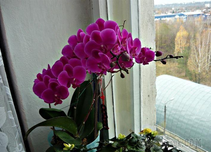 После покупки пышно цветущей орхидеи, хочется видеть ее такой постоянно, потому что красота этого чуда природы завораживает своей нежностью, роскошью и богатством оттенков. Но проходит время, цветы ос...