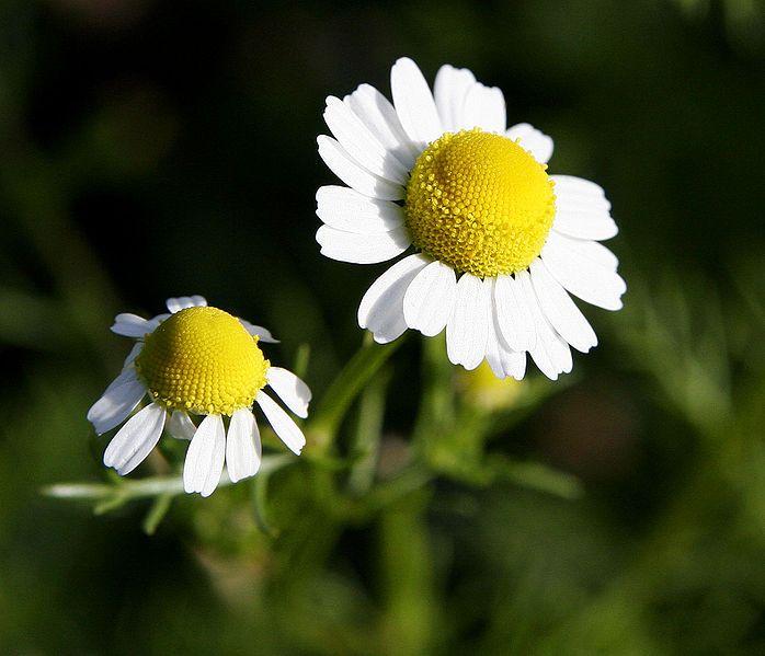 Heřmámek pravý (lat. Matricaria recutita) či také heřmánek lékařský je léčivkou z čeledi hvězdnicovitých (lat. Asteraceae) rostlin. Dříve se v latinské terminologii heřmánek označoval jako Chamomilla. Lidově se heřmánku pravému říká voňavý rmen, rumánek, kamilka či sluníčko.