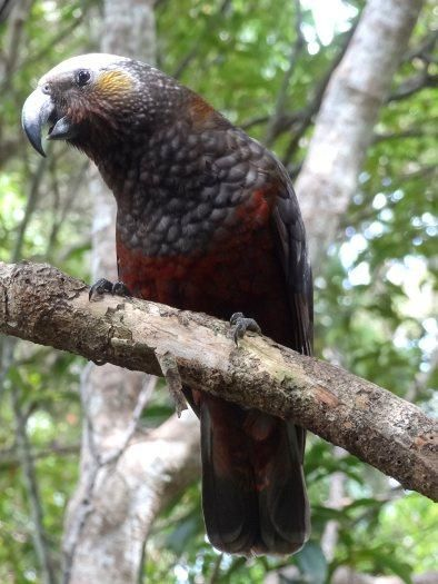 Kaka posing for photos, Ulva Island/Te Wharawhara. Photo: Leon Berard. #nzbirds