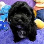 Puppies for Sale - Texas Maltipoo Breeders