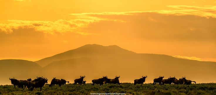 Wildebeest herd in the Serengeti National Park with Mt Lemagrut in the background. Tanzania. See more of our work at http://www.rogerandpatdelaharpe.com