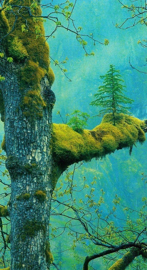 A Tree Within A Tree - The Wonder Tree, Klamath, California #Trees #Nature #Wildlife